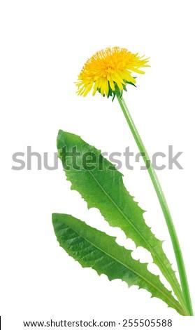 Beautiful dandelion with long stem on white background - stock photo