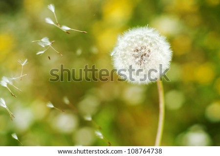 Beautiful Dandelion with seeds floating by wind and bokeh background wallpaper - stock photo