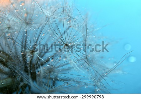 Beautiful dandelion with water drops on blue background - stock photo