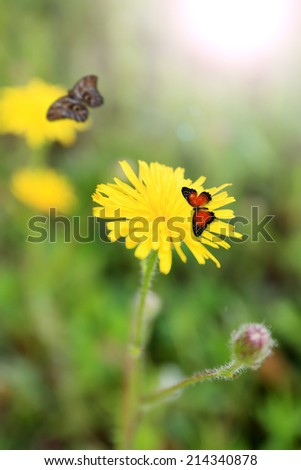 Beautiful dandelions with butterflies in field - stock photo