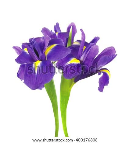 beautiful dark purple iris flower isolated on white background - stock photo