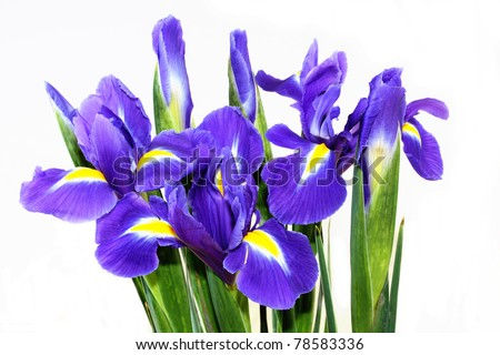 beautiful dark purple iris flower isolated on white background