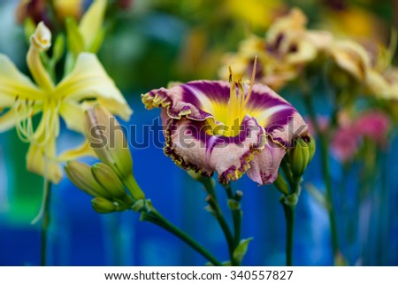 Beautiful day-lily flower (hemerocallis),  with copy space