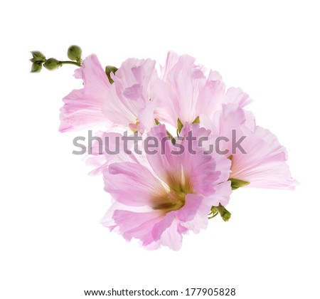 Beautiful decorating hollyhock flowers /Althaea officinalis/isolated white background