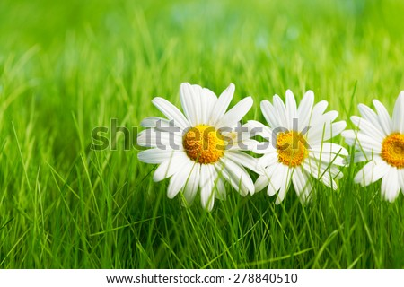 Beautiful decorative chamomile flowers in fresh spring grass - stock photo