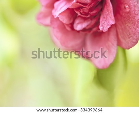 Beautiful deep pink hothouse camellia bloom macro close up with water droplets copy space. Shallow depth of field to create a natural background.  - stock photo