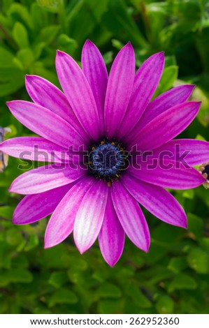 Beautiful deep purple chrysanthemum flower on green background - stock photo