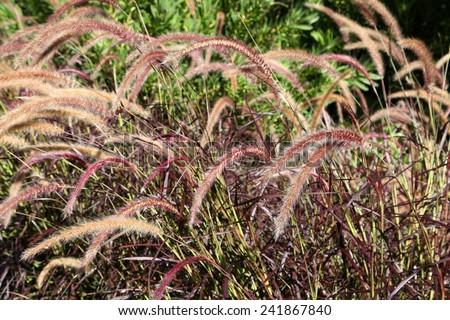 Beautiful delicate fox tail grass in queensland, australia - stock photo