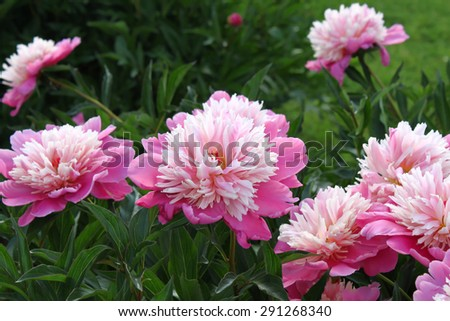 Beautiful delicate pink peony flowers - stock photo
