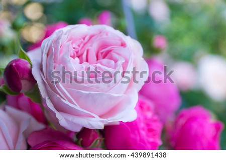 Beautiful, delicate, pink rose on a green background, a beautiful background for cards, place for text, wedding card - stock photo