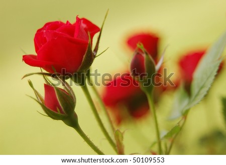 Beautiful Delicate Roses - stock photo