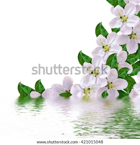 Beautiful delicate white flowers of apple blossom isolated on white background.