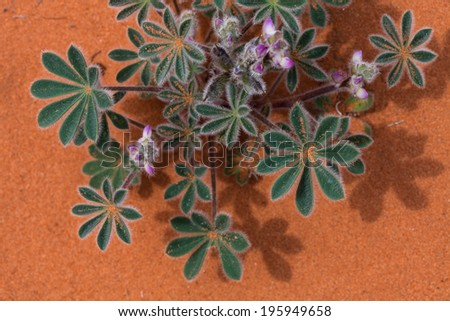 Beautiful desert flower with a sandy back drop - stock photo
