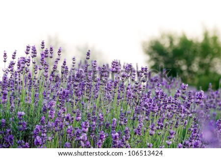 Beautiful detail of a lavender field. - stock photo