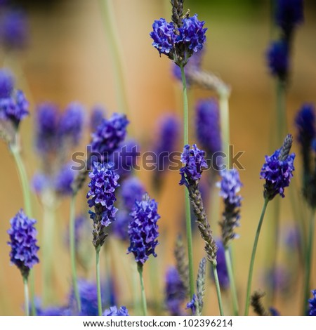 Beautiful detail of a lavender flowers field. - stock photo