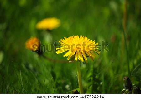 Beautiful detail of dandelion blossom with defocused background with grass and a few other dandellions - stock photo