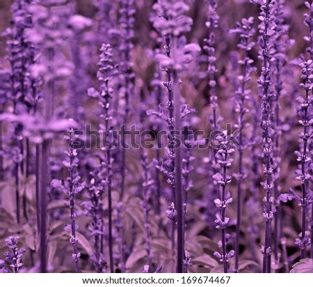 Beautiful detail of scented flowers field in perfect Radiant Orchid color