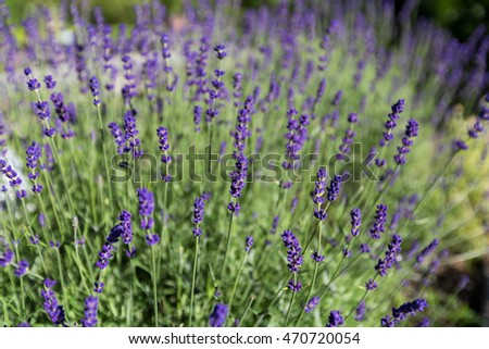 Beautiful detail of scented lavender flowers field.