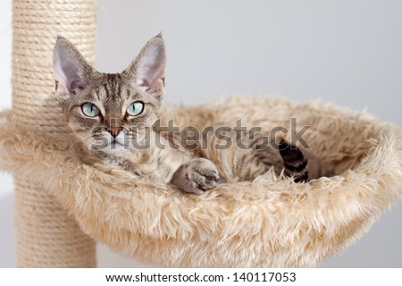Beautiful devon rex cat is laying on the scratching post in hammock. Cat Supplies and Equipment. Cat feels pleasure and safety at home