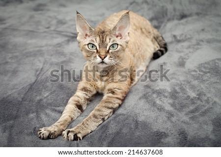 Beautiful devon rex cat laying on soft blanket - stock photo