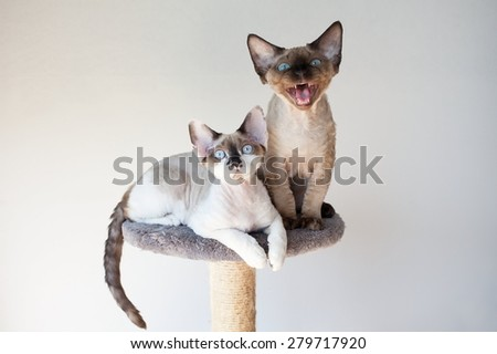 Beautiful devon rex cats sitting on the scratching post - stock photo