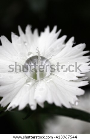 Beautiful Dianthus flowers with water droplets on petals - stock photo