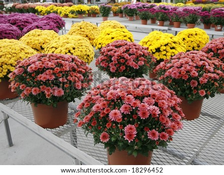 beautiful display of pink, purple and yellow mums