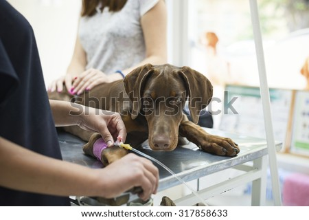 Beautiful doberman puppy lying on a veterinary table and gets an infusion. Vet holding infusion line attached to dog's leg. Short DOF and selective focus on veterinarian hand.