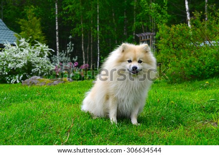 beautiful dog, a German Spitz in nature - stock photo