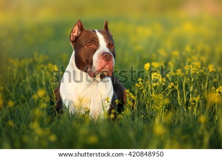 Beautiful dog American Pit Bull Terrier in nature, lying in a yellow flowers - stock photo
