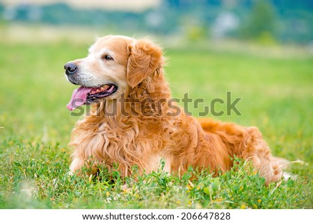 beautiful dog breed golden retriever lying in the grass - stock photo