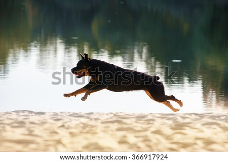 Beautiful dog breed Rottweiler runs gallop on the beach backlit on a dark background pond - stock photo