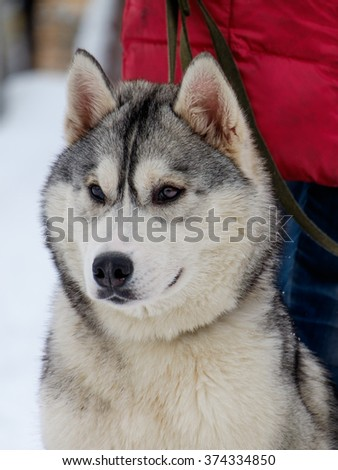 Beautiful dog breed Siberian Husky photographed in Siberia in the winter with blue eyes.