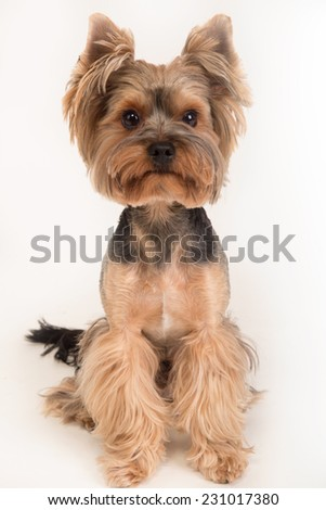 Beautiful dog breed York sits on a white background. Little dog on white background. - stock photo