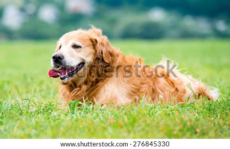 beautiful dog golden retriever in the grass - stock photo
