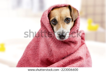 beautiful dog in a bath towel. peeps muzzle. Bathroom interior on background - stock photo