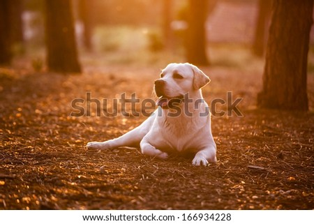 Beautiful dog in outdoor lying on a pinewood - stock photo