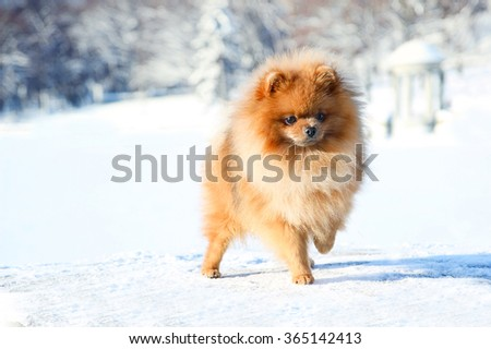 Beautiful dog in winter park. Pomeranian dog outdoor. Groomed dog. Winter
