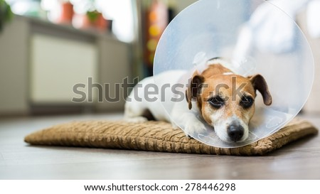 Beautiful dog Jack Russell terrier lying on a bed sick with vet Elizabethan collar - stock photo