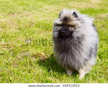 Beautiful Dog Keeshond