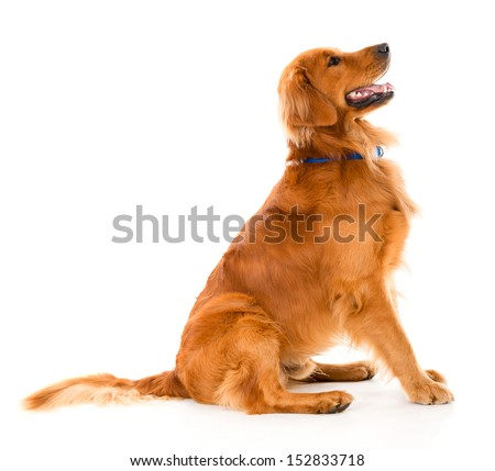 Beautiful dog looking alert - isolated over a white background  - stock photo