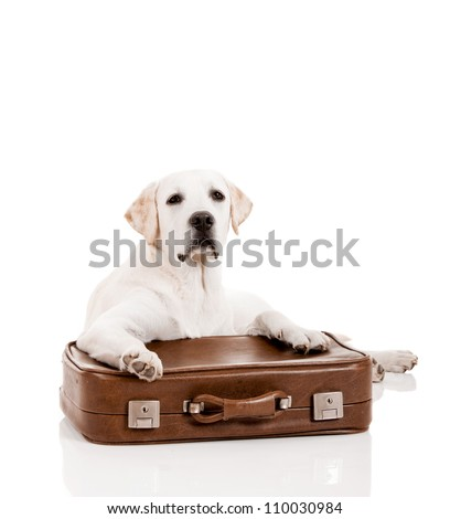 Beautiful dog of breed Labrador retriever lying over a baggage - stock photo