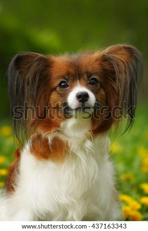 beautiful dog of breed Papillon in summer, muzzle closeup