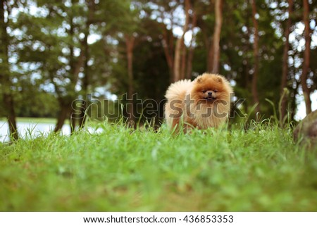 Beautiful dog outdoor. Pomeranian dog in a park. Happy dog