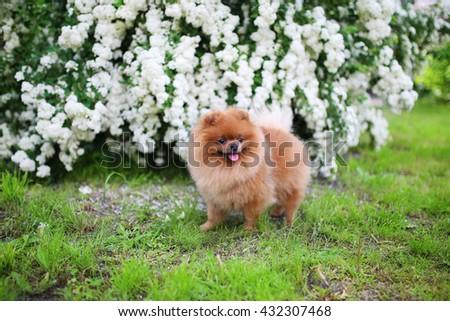Beautiful dog. Pomeranian dog near blossoming white bush. Pomeranian dog in a park. Adorable dog. Happy dog - stock photo