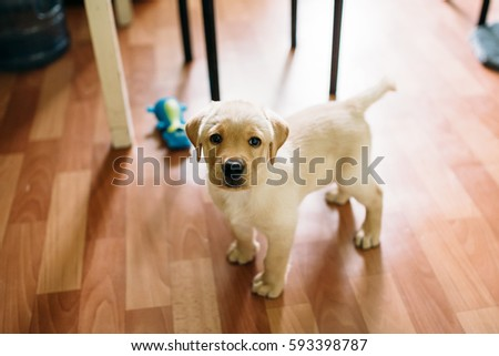 Beautiful dog puppy Labrador retriever playing in the house apartment. Against the background of linoleum