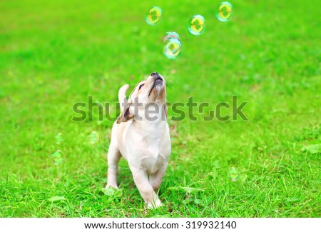 Beautiful dog puppy Labrador Retriever playing with soap bubbles on grass - stock photo