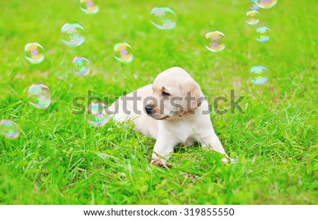 Beautiful dog puppy Labrador Retriever with soap bubbles on grass - stock photo