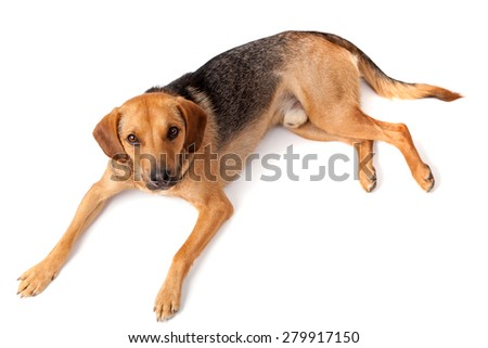 Beautiful dog resting - studio shot - stock photo