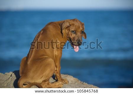 Beautiful dog rhodesian ridgeback hound puppy outdoors on blue sky backround - stock photo
